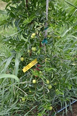 Figure 6. Fruits on jujube cultivar 'So' at Cherry Creek Orchard, Pontotoc, MS. Summer 2014.