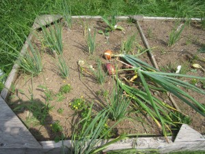 Test planting in 2015, storage onions and scallions
