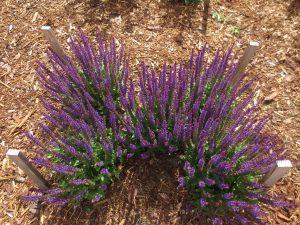 Veronica longifolia 'Allord'
