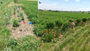 Figure 6. . Photos of annual (a.) and perennial (b.) floral habitats on July 9, 2015.