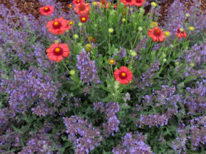 Catmint and gaillardia