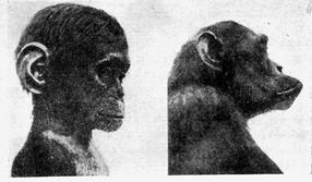 chimps neoteny