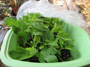 Fig cuttings growing in a plastic container.