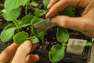 Preparing the rootstock for a Single Cotyledon Graft