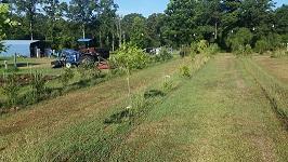 Figure 2. Jujube Trees at Crystal Spring Farm Market, Crystal Spring, MS. Summer 2015