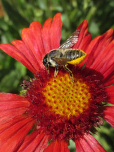 Leaf cutter bee on gaillardia