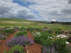 Pollinator plot in mid June 2019.