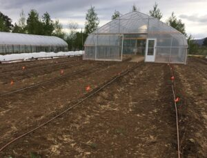 Raspberry bare rootstock planting in field and high tunnel