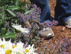 Sphinx or hummingbird moth