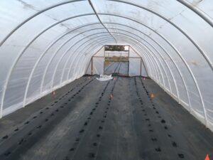 Shows strawberry rootstock planted into landscape fabric