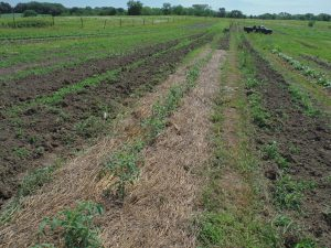 2014 Summer tomato plants in rolled/crimped beds.  Mowed and spaded area at far end of bed