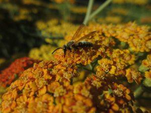 Yarrow attracts pollinators.